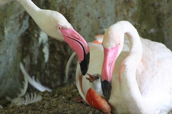 4-Flamingos