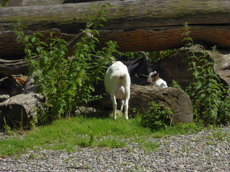 Nachwuchs bei den Ziegen