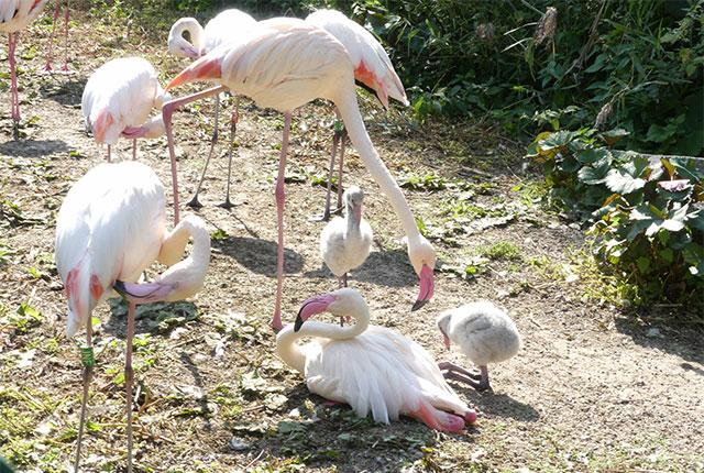 Tierpark Röhrensee – Flamingos